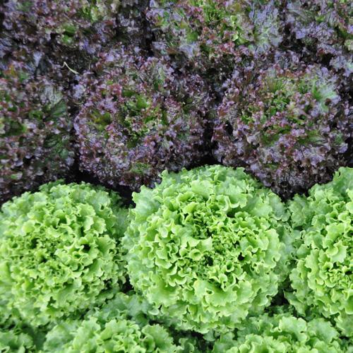 salade-scarole-printemps